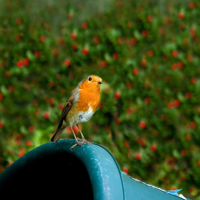 """European Robin on trug"" stock image"