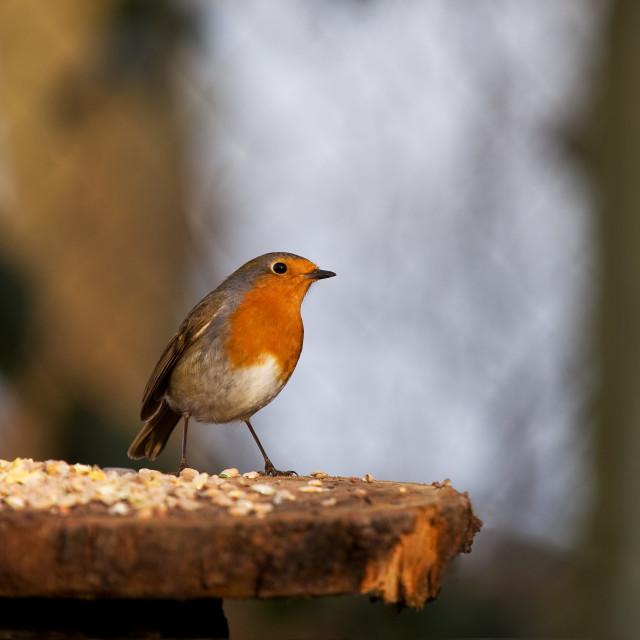 """""""Perky Robin"""" stock image"""
