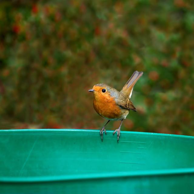 """European Robin tail up"" stock image"