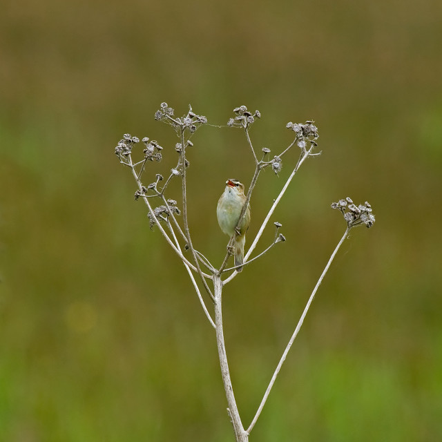 """Sedge Warbler singing"" stock image"