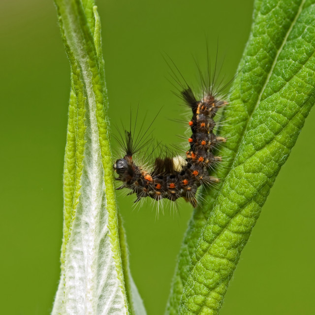 """""""Vapourer Moth Caterpillar"""" stock image"""