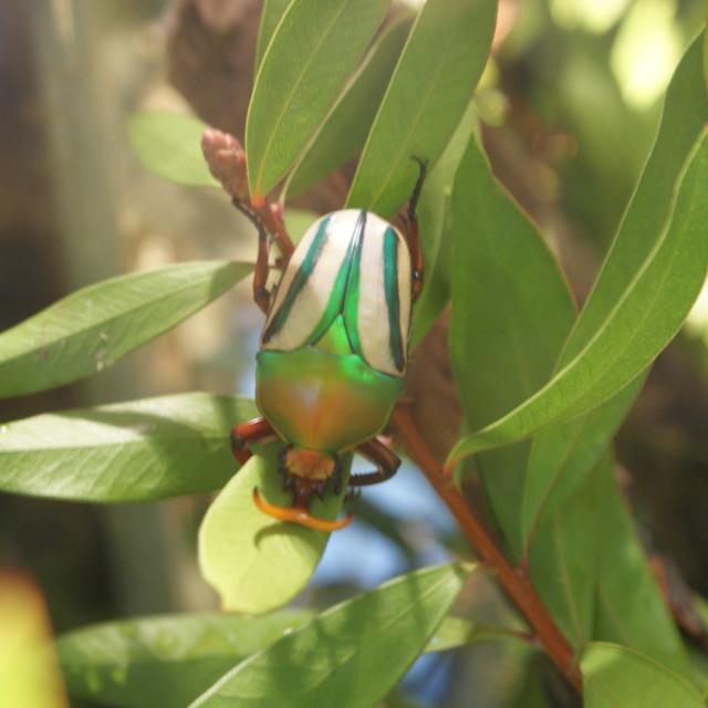 """Flamboyant Flower Beetle - Eudicella gralli"" stock image"