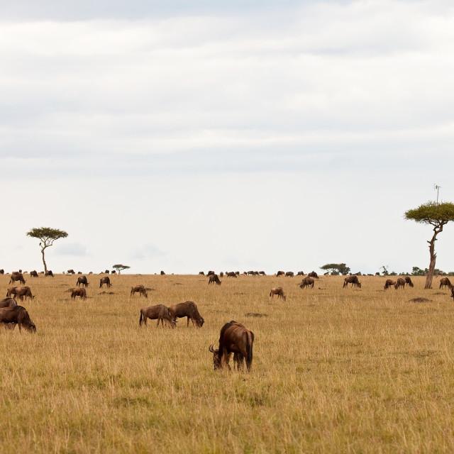 """Communication Arial in Tree on Masai Mara"" stock image"