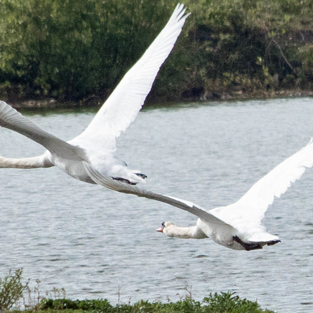 """""""Two Swans flying"""" stock image"""