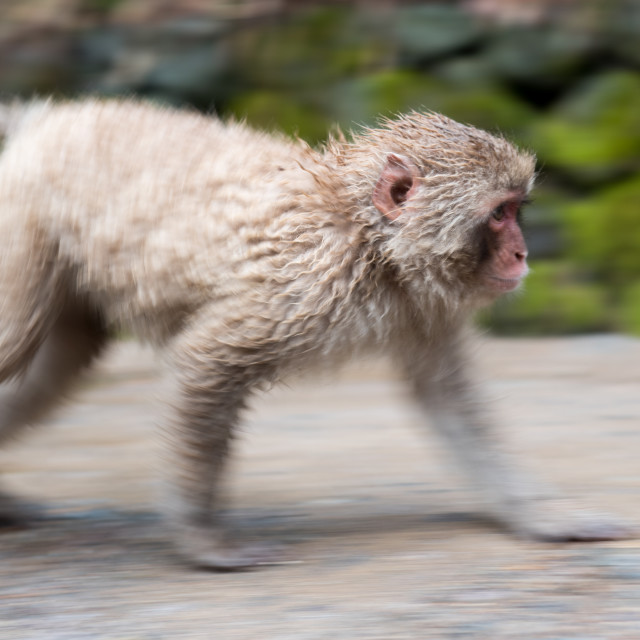"""running monkey"" stock image"