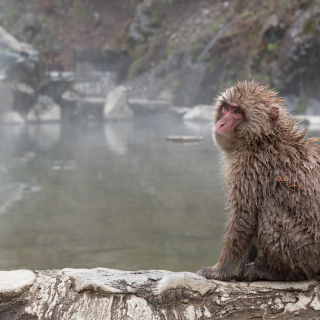 """snow monkey"" stock image"