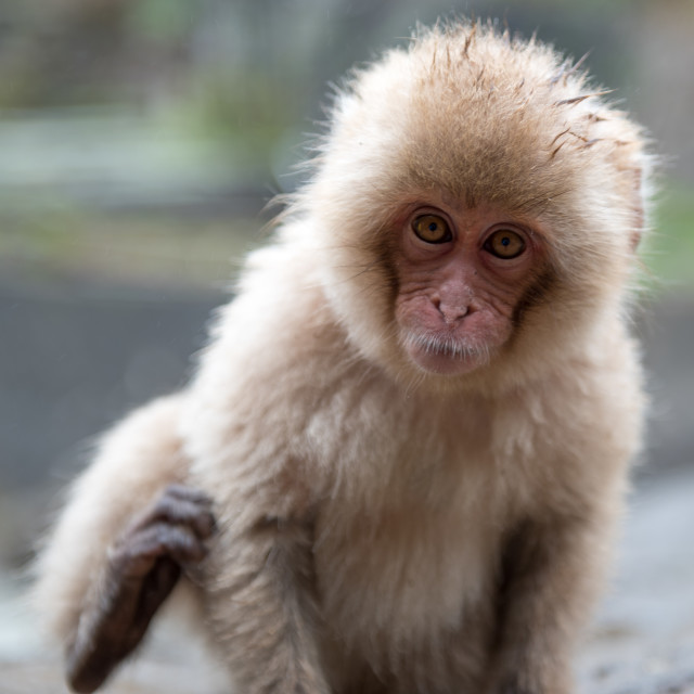 """baby monkey"" stock image"