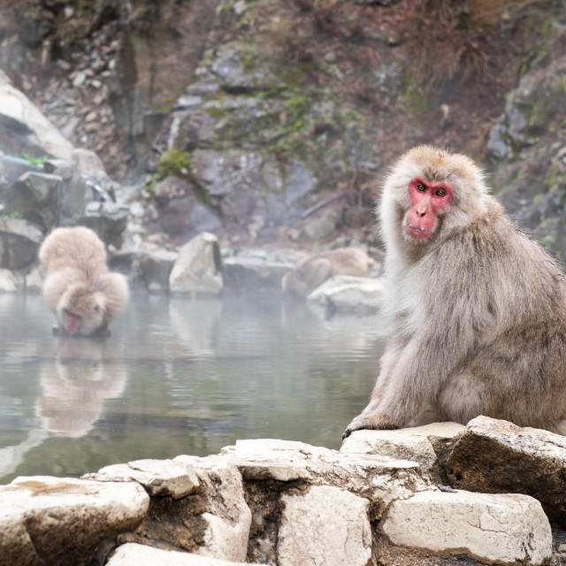 """Japanese snow monkeys"" stock image"