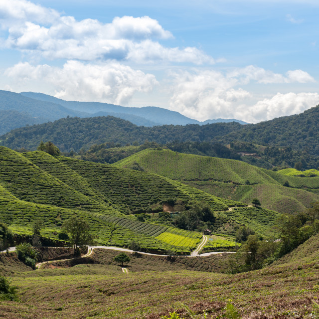 """Tea plantation"" stock image"