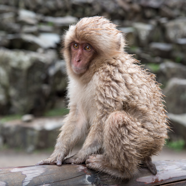 """cute baby monkey"" stock image"