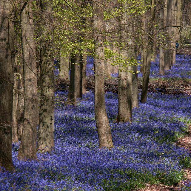 """Bluebell Woods London"" stock image"