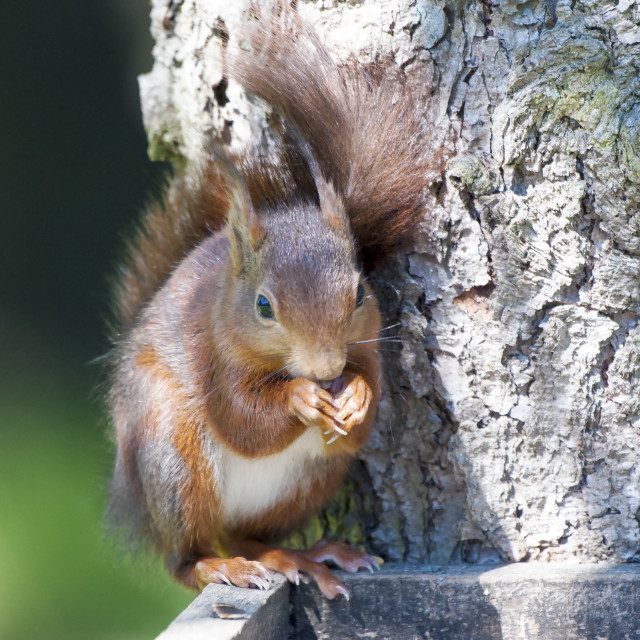 """""""Red Squirrel thief"""" stock image"""