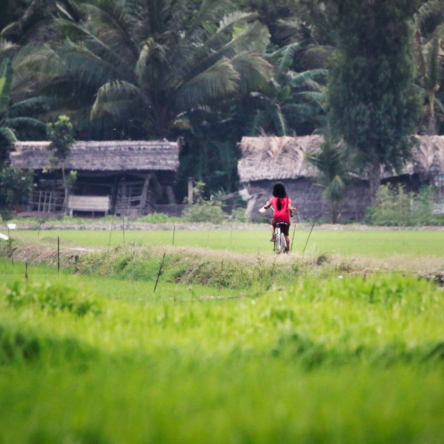 """Girl riding a bicycle through paddy fields"" stock image"