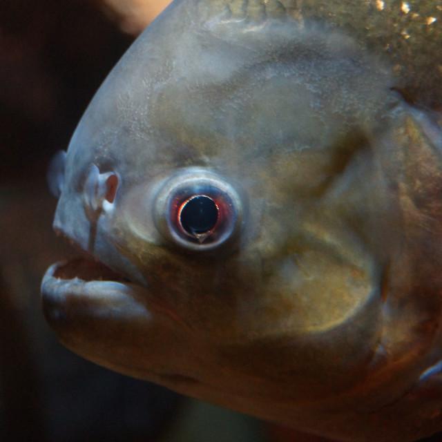 """Red-bellied Piranha - Pygocentrus nattereri"" stock image"