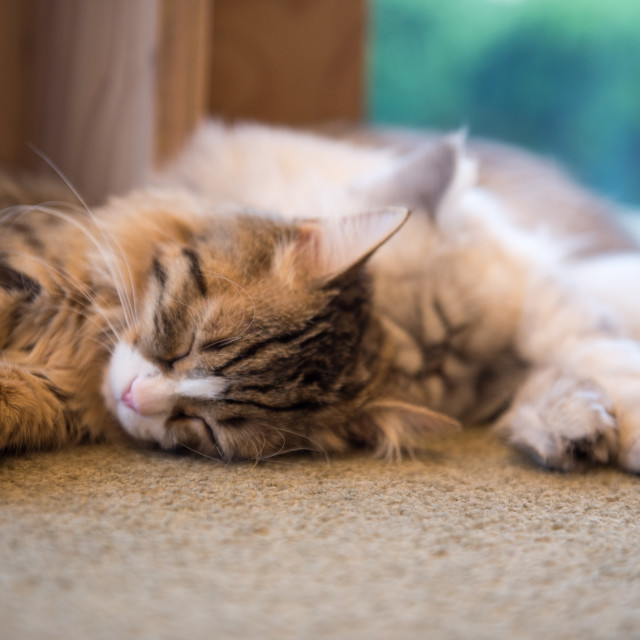 """cute sleeping grumpy cats"" stock image"