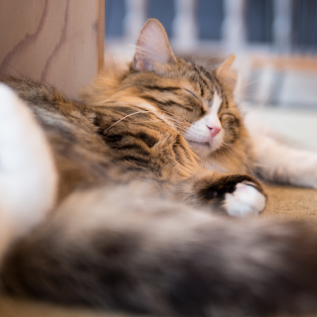 """Cute sleeping cat"" stock image"