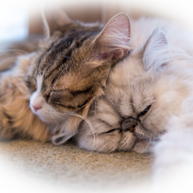 """cute cats a sleep"" stock image"