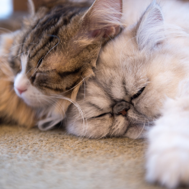 """cats napping"" stock image"