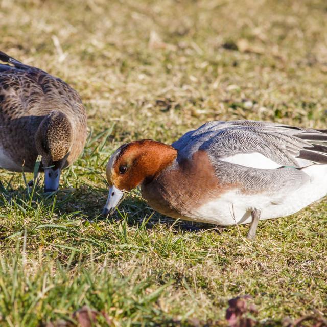 """Pair of Wigeon (Anas penelope) grazing on grassy marshland"" stock image"