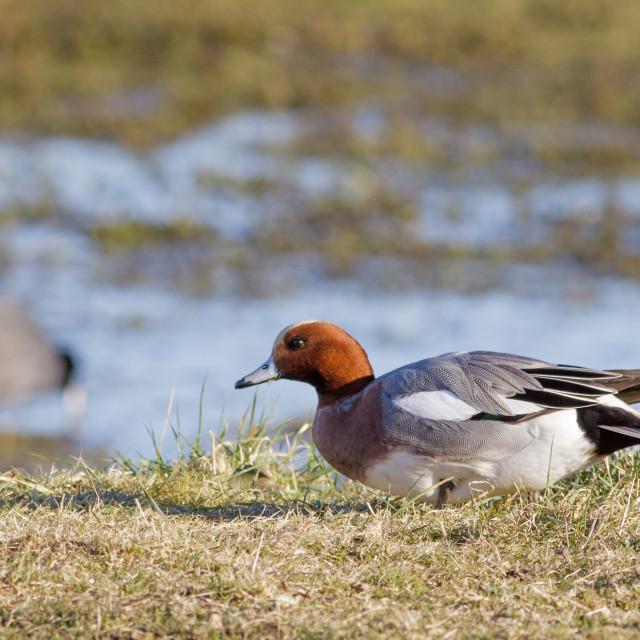 """Single Male Wigeon (Anas penelope) grazing on grassy marshland"" stock image"