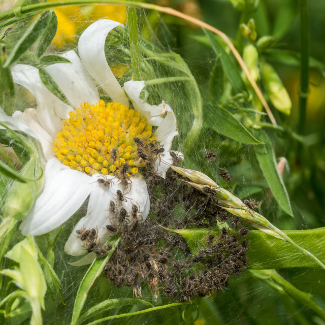 """""""Spiderling creche or nursery on white Daisy"""" stock image"""