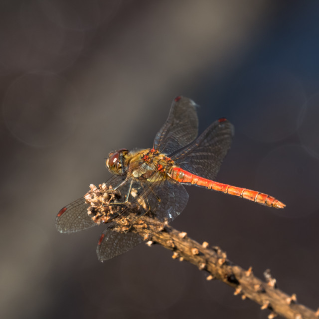 """""""Male Common Darter dragonfly (Sympetrum striolatum) perched on stick"""" stock image"""