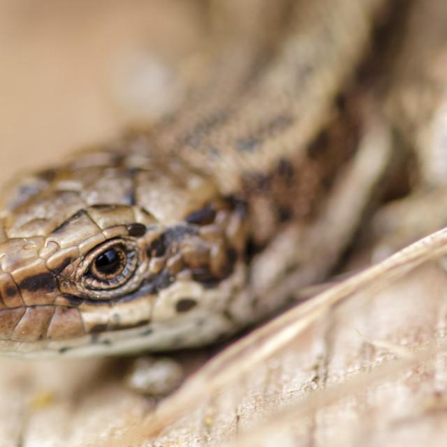 """Portrait close-up of a Common Lizard (Zootoca vivipara)"" stock image"