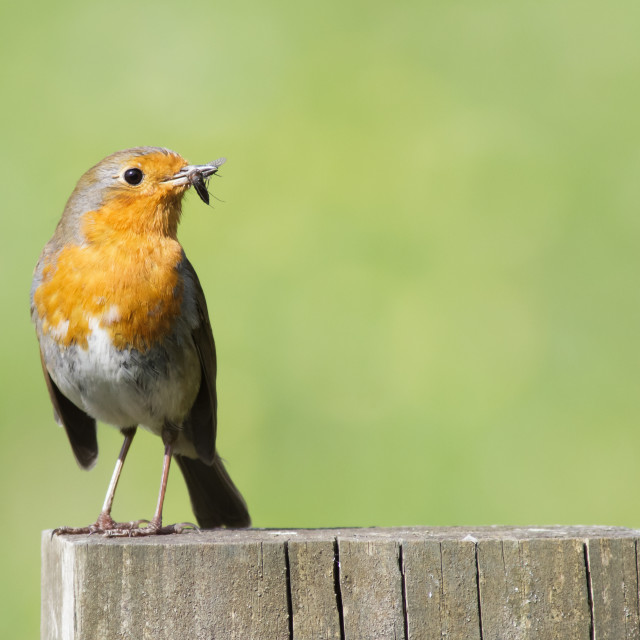 """""""European Robin (Erithacus rubecula) perched on a fence post with food for..."""" stock image"""