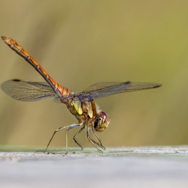 """""""Male Common Darter dragonfly (Sympetrum striolatum) perched on wood in obelisk position"""" stock image"""