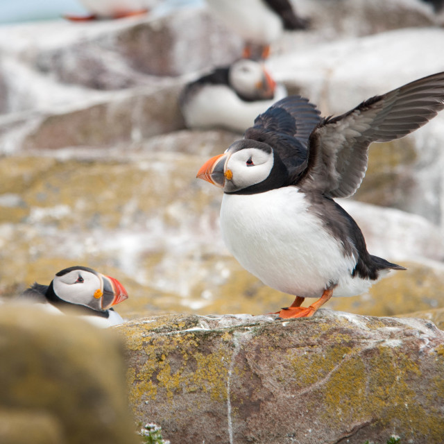 """""""Puffin Ready To Take Off"""" stock image"""