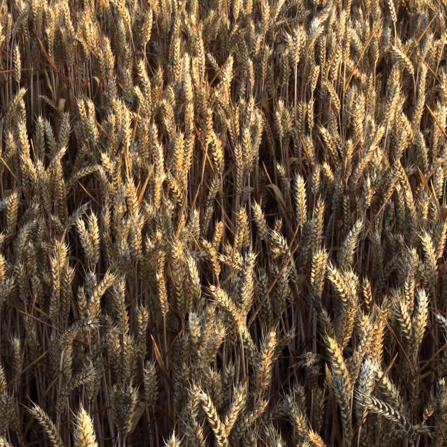 """Summer ripening Wheat fields, Norfolk County, England; Britain; UK"" stock image"