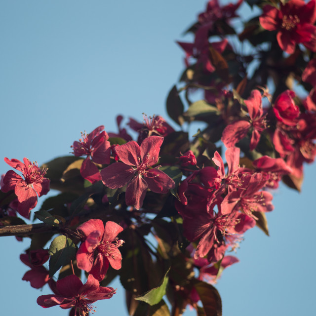 """""""Crab apple trees blooming"""" stock image"""