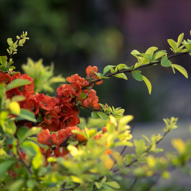 """""""Japanese quince"""" stock image"""
