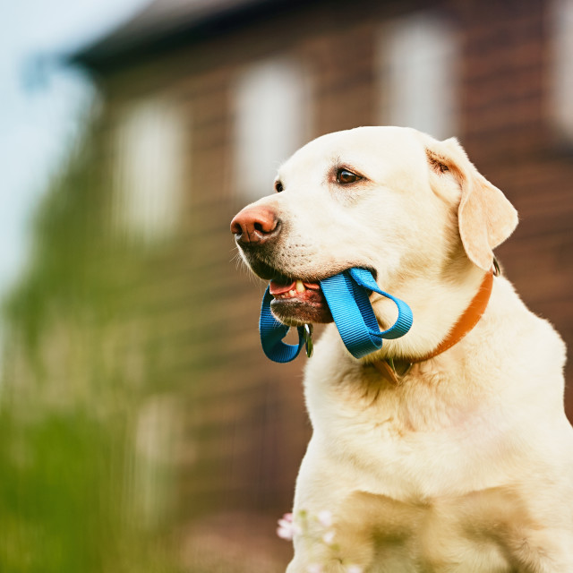 """Cute dog (labrador retriever) with leash is waiting for walk in front of the house."" stock image"