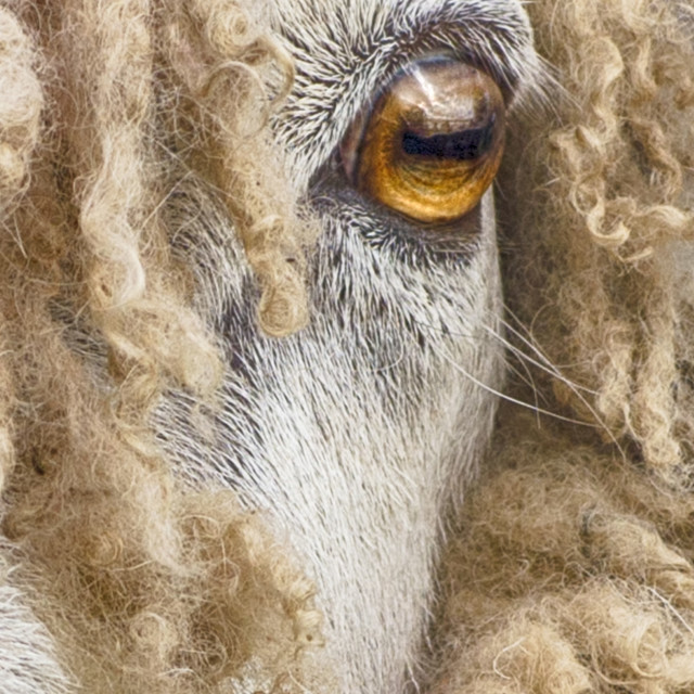 """""""Leicester Longwool"""" stock image"""