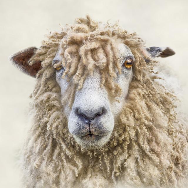 """Leicester Longwool Ewe"" stock image"