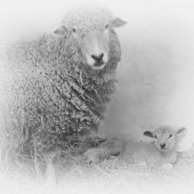 """Ewe and Lamb"" stock image"