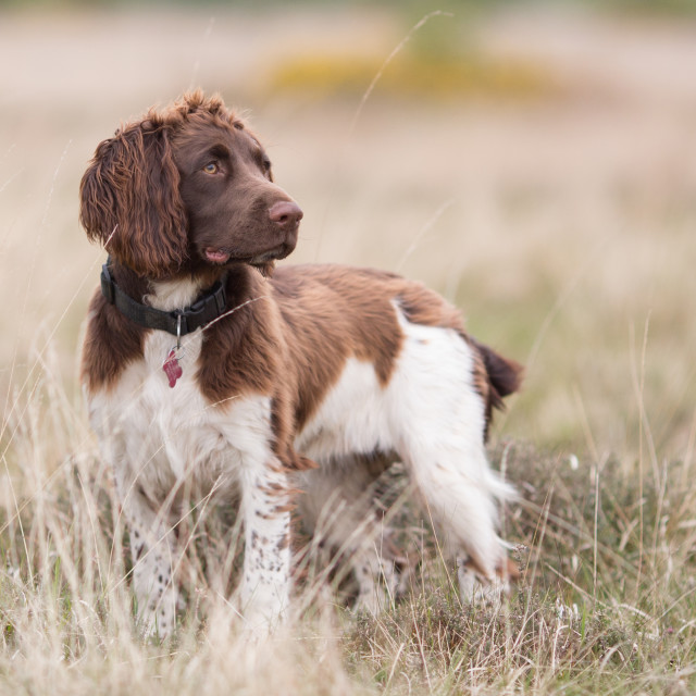 """English Springer Spaniel in the Field"" stock image"