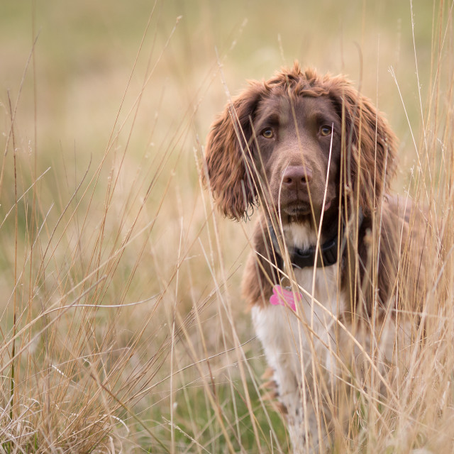"""English Springer Spaniel in the Field-2"" stock image"