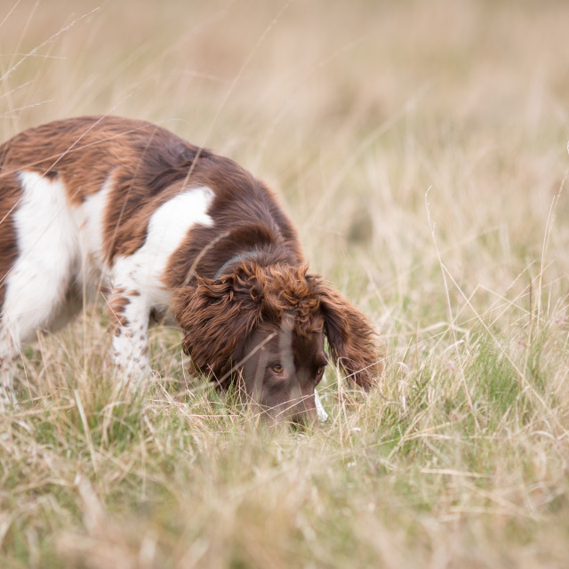 """English Springer Spaniel on the Scent Trail"" stock image"