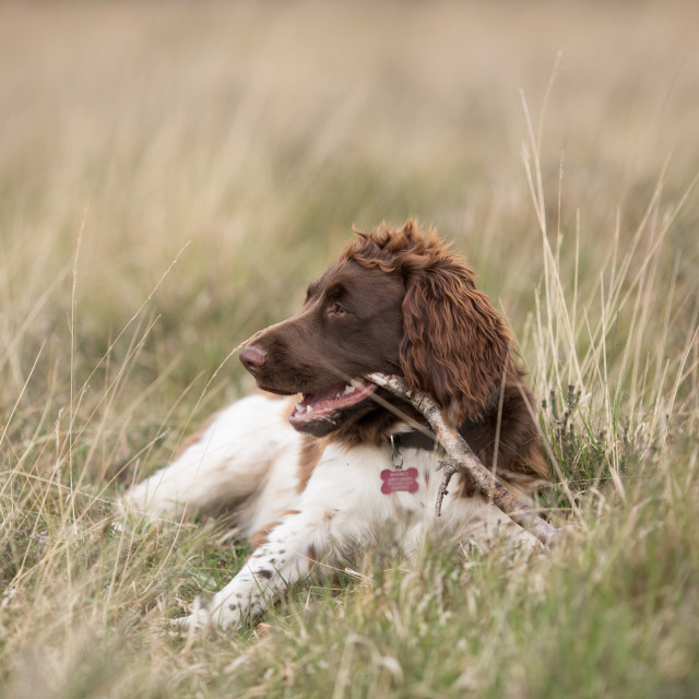 """English Springer Spaniel chewing a stick"" stock image"