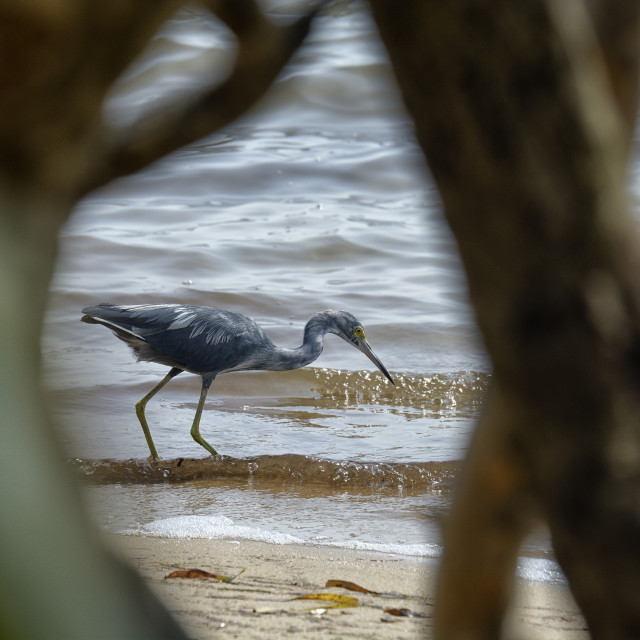 """Heron fishes on a beach"" stock image"