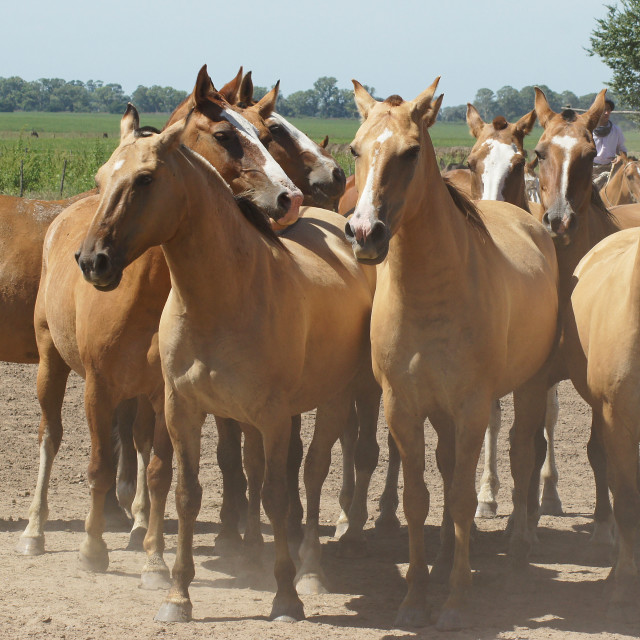 """Argentinian Horses, Pampa, Argentina"" stock image"