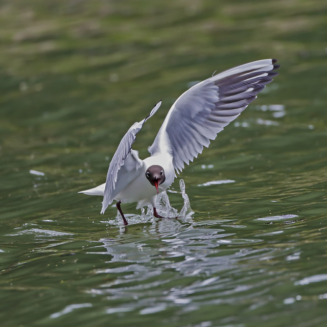 """Black Headed Gull catching Mayfly"" stock image"