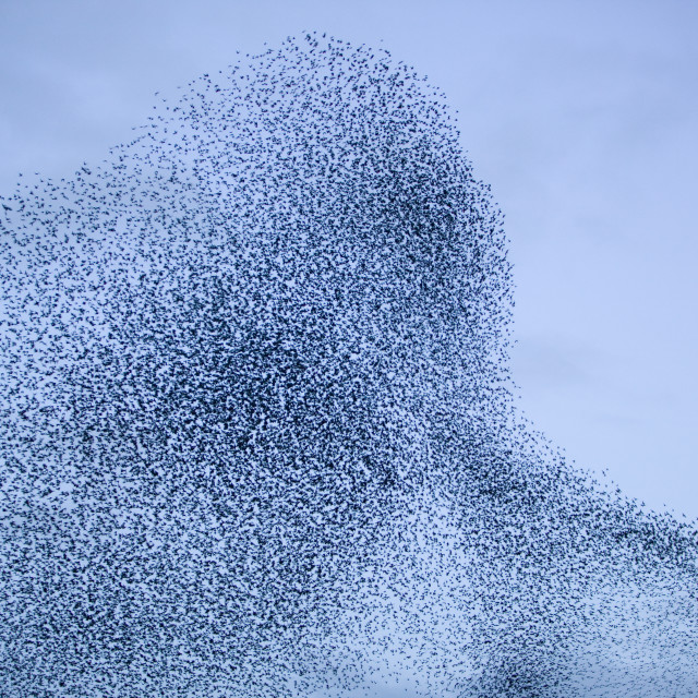 """""""A Sparrowhawk attacking Starlings flying to roost near Kendal Cumbria UK"""" stock image"""