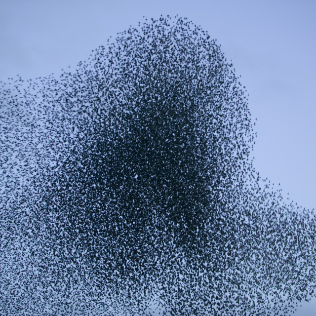 """""""Starlings flying to roost near Kendal Cumbria UK"""" stock image"""