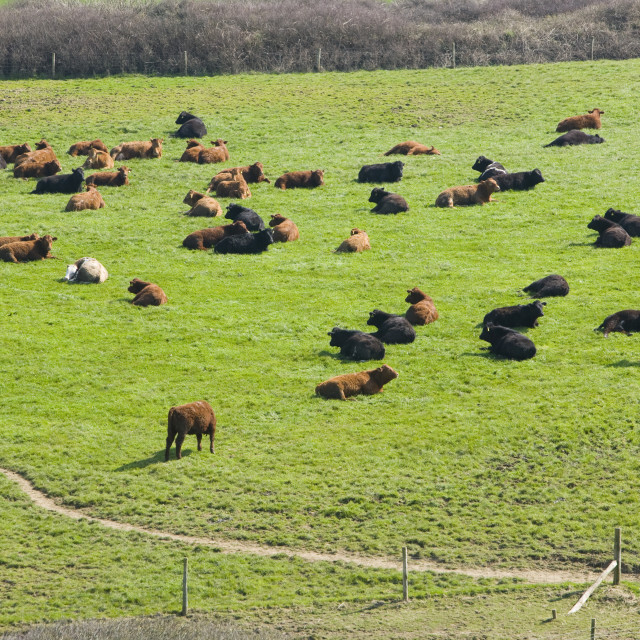 """A field of beef cows near Boscastle Cornwall UK"" stock image"