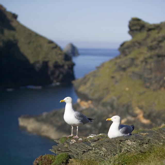 """""""Herring Gulls above Boscastle harbour in Corwall UK"""" stock image"""