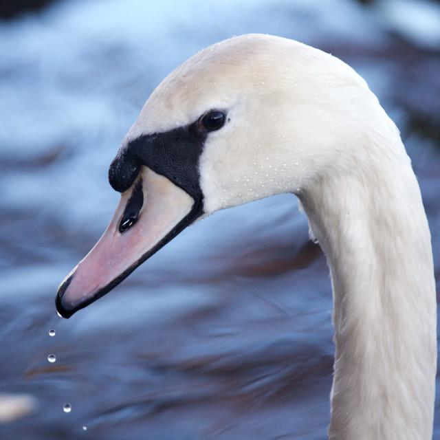 """A Swan at Richmond Park"" stock image"