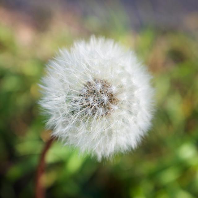 """A Spring Dandelion"" stock image"